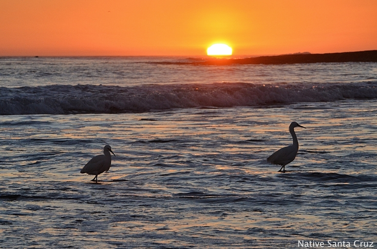 A pair of egrets at Natural Bridges State Beach in Santa Cruz California.