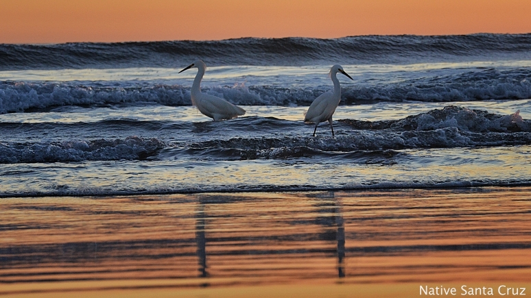 A pair of egrets and their reflections at Natural Bridges State Beach in Santa Cruz.