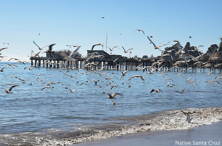 Capitola Wharf and a Flock of Seagulls