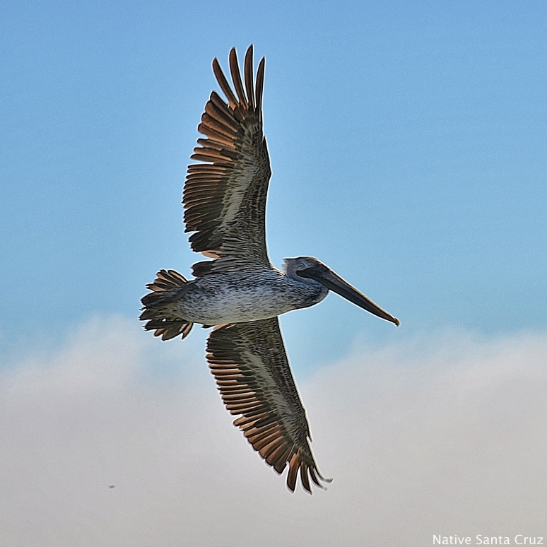 A Brown Pelican in Flight