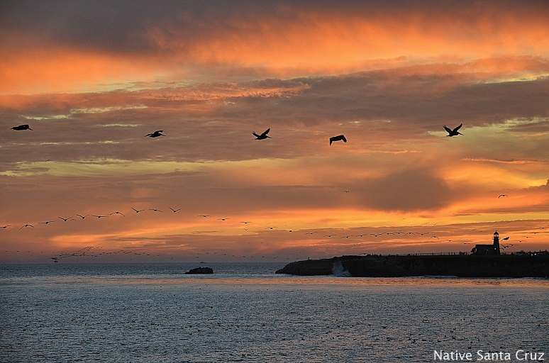 Pelicans Flying at Sunset