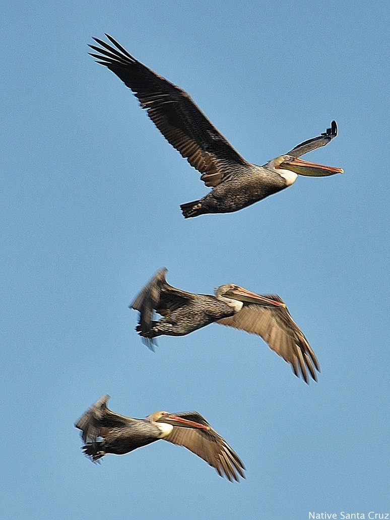 Trio of Pelicans